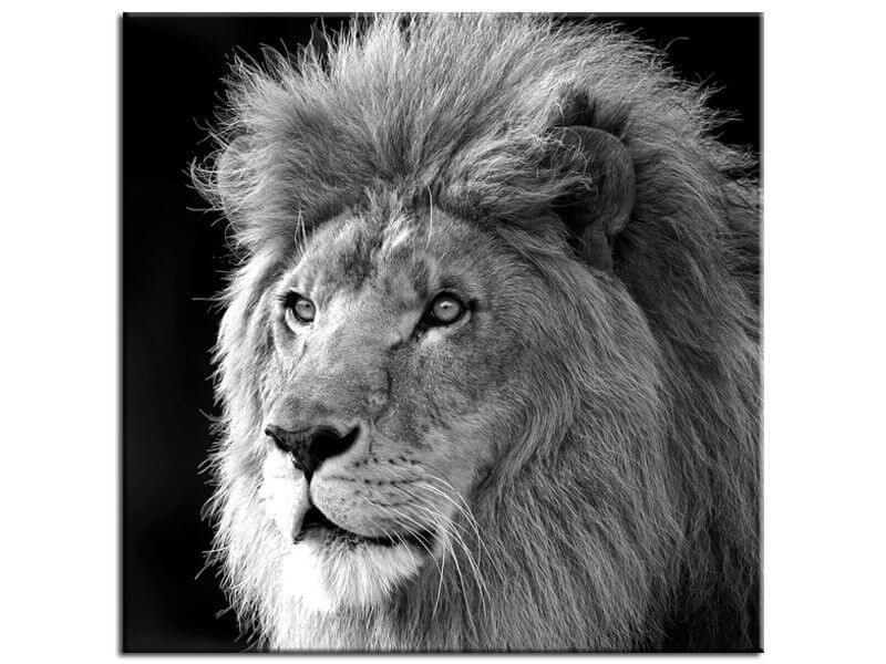 vente tableau animaux lion en toile imprim e plexiglas et alu. Black Bedroom Furniture Sets. Home Design Ideas