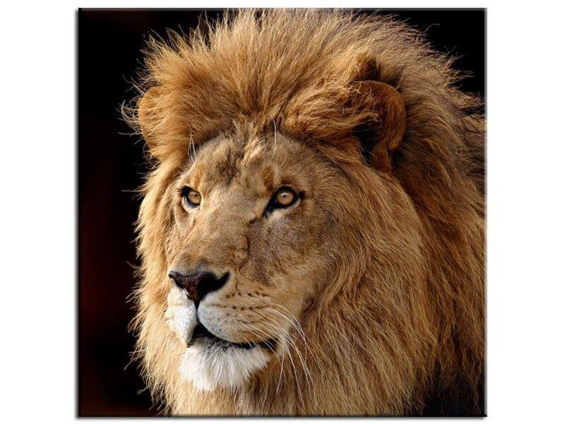 Vente tableau animaux lion en toile imprim e plexiglas et alu - Animaux du roi lion ...